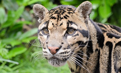 Clouded Leopard 2 (Funky Foxy) Tags: lion africanlion cloudedleopard pantheraleo neofelisnebulosa endangeredbigcats