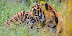 Sumatran Tiger 6 (Funky Foxy) Tags: tiger sumatrantiger pantheratigrissumatrae flickrbigcats endangeredbigcats
