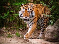 il passo del felino (Bruna Zavattiero) Tags: animal nikon tiger felino tigre animali 80200 foresta passo d300 cammina