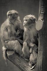 Family (mifune*) Tags: bw monochrome japan monkey tokyo olympus kichijoji ep3   inokashiraparkzoo panasonicgvario45200mm