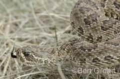 Snake-31