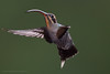 Green Hermit, Phaethornis guy, Hummingbird PLEASE HELP CONFIRM THIS ID !!! (mikebaird) Tags: costarica mikebaird