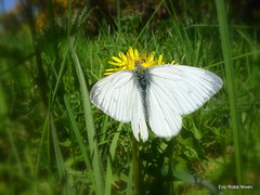 Large White Butterfly. (eric robb niven) Tags: white grass butterfly scotland spring pentax large dandelion kx ericrobbniven