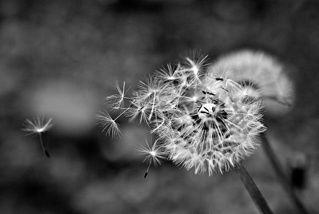The Worlds Best Photos Of Dandelion And Music Flickr Hive Mind