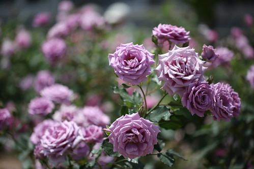 Rose-Fujimusume