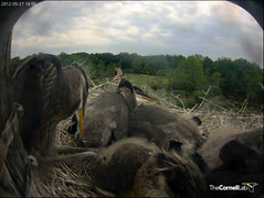 A chick sleeps sitting up at left, and another drapes his neck over a sibling. (y.mclean) Tags: heron nest cornell ornithology greatblueheron sapsuckerwoods cornelllabofornithology
