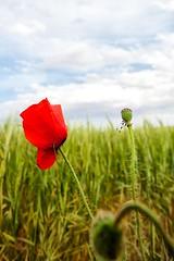 Amapola (Jose Casielles) Tags: color verde luz azul rojo flor cielo nubes campo yecla espigas amapola sembrado corralrubio fotografíasjcasielles