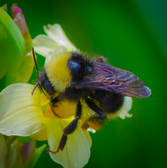 Chubby Bumble Bee. (Omygodtom) Tags: wild flower nature spring nikon hand sting bee pdx held tamron 90mm d7000