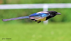 magpie at the races (gray clements) Tags: birds flying tail devon exeter 7d birdsinflight magpie picapica tailfeathers britishbirds flyingbirds magpieinflight sniper01 mygearandme mygearandmepremium mygearandmebronze longtailedbirds