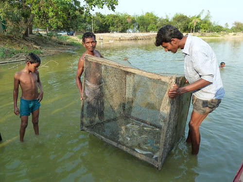Adivasi cage farmers practising their Tilapia farming culture, Joypurhat district. Bangladesh. Photo by Anne Delaporte, 2012.