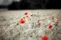 dancing poppies (mamuangsuk) Tags: field closeup countryside wheat campagna poppy campo campagne champ coquelicot grano opiate ble selectivecolour johnkeats papavero dancingpoppies canonef70200l mamuangsuk opiaceo opiacee