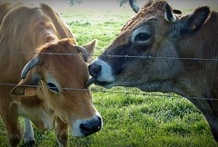 Cow licking (april-mo) Tags: france cow country meadow pasture licking nord vache vaca countrylife cowlicking
