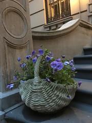 Upper East Side Stoop (Kristine Paulus) Tags: flowers gardening stoop pansies planter uppereastside