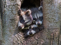 week-26-favorite---raccoon-kits (jkbodkin) Tags: raccoon kits pups babies blackandwhite animal mammal youngster tree