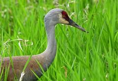 Sandhill Crane (careth@2012) Tags: nature wildlife beak feathers sandhillcrane