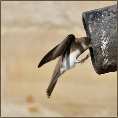 Sand Martin (image 2 of 3) (Full Moon Images) Tags: bridge bird nature saint st river flying sand martin nest wildlife great pipe flight chapel ouse cambridgeshire ives