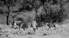 Following the parent. (ChrMous) Tags: winter animals southafrica blackwhite zwartwit mammals 2016 plainszebra burchellszebra chapmanszebra equusquagga bontsebra steppezebra gewonezebra pilanesbergnp diereninhetwild sonyslta99 tamronsp150600mmf563