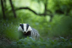 Badger (Daniel Trim) Tags: mammal european bedfordshire badger meles mustelid