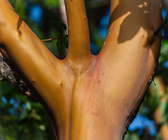 Arbutus menziesii (John F. Anderson) Tags: canada tree britishcolumbia canadian arbutustree