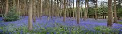 Austy Wood Panoramic 05 (Photograferry) Tags: flowers trees nature sunshine bluebells forest woodland spring colourful warwickshire
