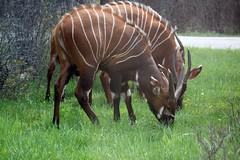 Bongo (Tragelaphus eurycerus) (BladDad) Tags: bongo africanlionsafari tragelaphuseurycerus