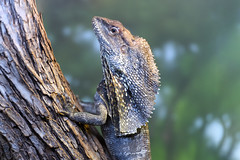 Frill Necked Lizard on a Tree (Eric Kilby) Tags: animal zoo reptile lizard fortworth frill necked
