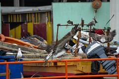 Pelican at Caleta Portales, Valparaiso (mariocristian_venegasibarra) Tags: chile birds pelican ave fishingboats valparaso pelicano