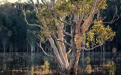 Tuckean Swamp (dustaway) Tags: winter tree flooding australia nsw australianlandscape lateafternoon myrtaceae northernrivers melaleucaquinquenervia broadleavedpaperbark richmondvalley richmondriverfloodplains tuckeanswamp