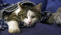 Oscar under the blanket (Tambako the Jaguar) Tags: portrait white cute male cat switzerland nikon feline gray couch sofa blanket zürich lying binz d4