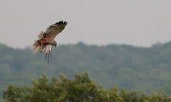 Marsh Harrier (barrowfordian (Martin)) Tags: birdofprey rspb leightonmoss marshharrier