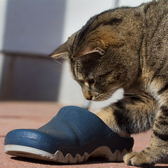 I wonder if this is my size .... (FocusPocus Photography) Tags: pet animal cat shoe chat gato katze haustier kater tier schuh sethi