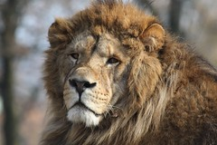 Big Cat... the signs of a life of battles (raffaele pagani) Tags: male lion bigcat scar leone dominant