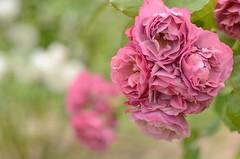 frilled petals (snowshoe hare*) Tags: flowers flower rose botanicalgarden aoi  japaneserose   dsc0275