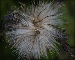 Recycled (Bamagirl7) Tags: seedpods thistledown bullthistle meadowgrass 116in2016