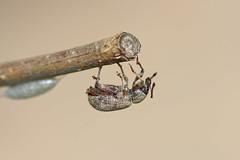 DSC_6422_DxO - charanon (Berzou) Tags: charancon insect nature macro macrodenaturalezza macrodreams fantasticnature naturebynikon nikon105mmf28 nikond7200