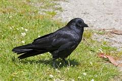 Handsome Young Guy (Stirrett6) Tags: bird crow corvid perching