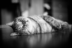 IMGL6930.jpg (k.jenchik) Tags: portrait bw pet cat canon meow bnw scotish 50mmf18 czj pancolar homepet scottishstraight