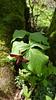 Trillium erectum, Bickle Knob, WV (2016) (Duncan_and_Gladys) Tags: us unitedstatesofamerica westvirginia elkins