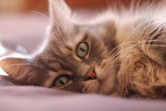 Cozy and ready for a snooze (MomOfJasAndTam) Tags: portrait pet face animal cat fur eyes furry feline dof depthoffield shayla happyfurryfriday hff