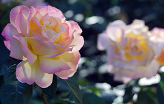 luminous roses (kinaaction) Tags: roses flowers nature flora plant bokeh sonyilce6000