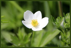 Canada Anemone (LavenderMillie) Tags: flowers outdoors dof depthoffield alberta wildflowers bighillsprings