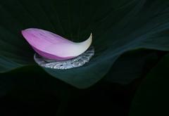 Lotus (Junpei) Tags: flower lotus   d7100