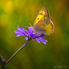 Clouded Yellow on a Sunny Morning (jackalope22) Tags: flower butterfly wings purple yello clouded sulpher