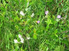 Slvvier, Salix Glauca, Grey Willow (Multerland.........) Tags: trees fern nature water norway moss stream wildlife pines naturereserve wildflowers hallingdal buskerud hovsfjorden june2016