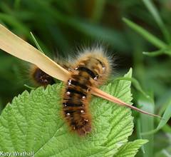 Oak Eggar Moth caterpillar (Katy Wrathall) Tags: 2016 30dayswild england june nationalpark northyorkshire oakeggarmoth summer caterpillar