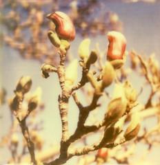 Magnolia III (Blitzwuerfel (flash cube)) Tags: spring blossoms frühling blüten instantphotography polaroidsx70 botanischergartenmünchen botanicalgardenmunich sofortbildfotografie px70colorshade