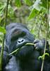 Gorilla eating in Volcanoes National Park - Rwanda (Eric Lafforgue) Tags: africa park animal forest outdoors gorilla head bamboo rwanda eat vegetation manger afrika greenery foret primate parc commonwealth bambou tete afrique repas eastafrica gorille mountaingorilla oneanimal centralafrica 9530 kinyarwanda ruanda gorillaberingei gorillatrekking afriquecentrale bigape רואנדה unanimal gorilledesmontagnes 卢旺达 르완다 盧安達 republicofrwanda руанда رواندا ruandesa