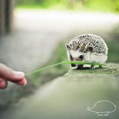 Jeż Pigmejski | Świat Jeży (Jeż Pigmejski | Pygmy Hedgehog) Tags: wild portrait pet baby pets cute eye nature animal animals canon nose pig eyes purple african small tunnel domestic tiny kawaii aww spike 5d prick hedgehog 28 hybrid spikey spikes snout algerian pygmy hedgehogs mamal unsual jeż pygmys whitebellied albiventris afrykański prickerly coolpig fourtoed codefor atelerix pigmejski białobrzuchy