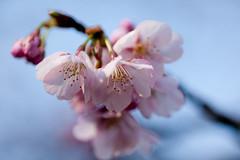 Atami Kanzakura - Early Bloomed Cherry Blossom (Apricot Cafe) Tags: japan tokyo machida yakushiikepark canonef100mmf28lmacroisusm prunuskanzakuracvatamizakura img525359