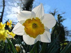 Backlighted Narcissus  - HAPPY EASTER !!! (Batikart ... handicapped ... sorry for no comments) Tags: park blue light shadow sky sun white plant flower detail macro tree nature leaves yellow closeup backlight canon germany geotagged deutschland leaf spring flora europa europe dof heart natural stuttgart blossom natur pflanze himmel sunny petal gelb daffodil bloom april inside blau middle blume makro blatt blte sonne bltter weiss schatten herz baum 2012 frhling gegenlicht narcissus blooming a610 backlighted narzisse badenwrttemberg frhjahr amaryllidaceae swabian bltenblatt 2011 staubbltter canonpowershota610 blhend 100faves viewonblack batikart 201204 amaryllidoideae